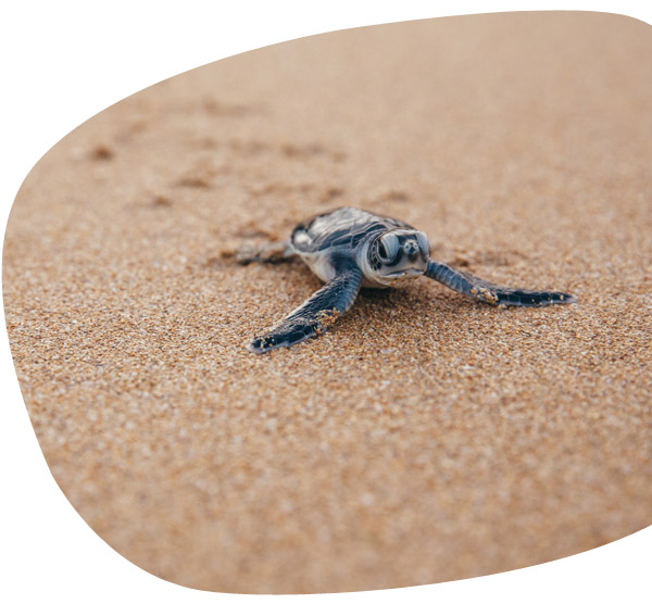 Jonge schildpad op het strand